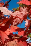 More red leaves