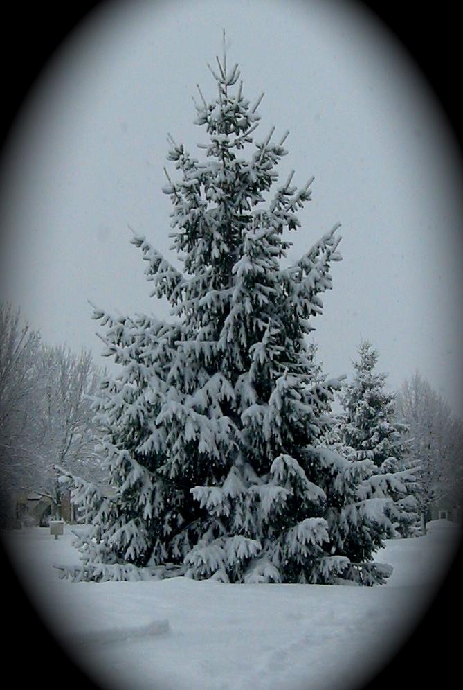 Snow laden pine