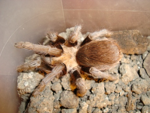 Texas_Brown_Tarantula