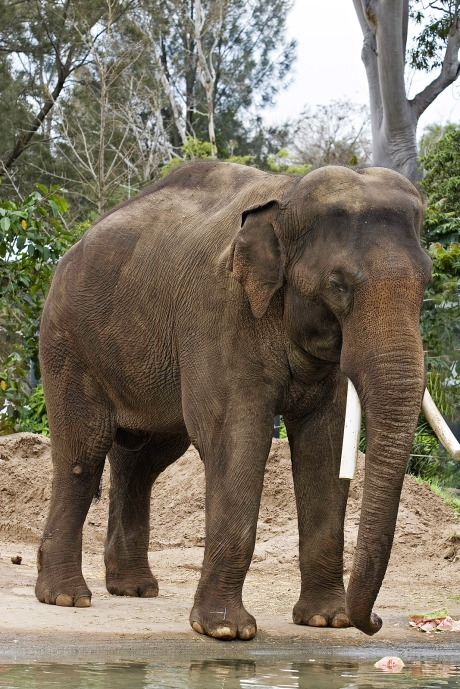 Asian_elephant_-_melbourne_zoo