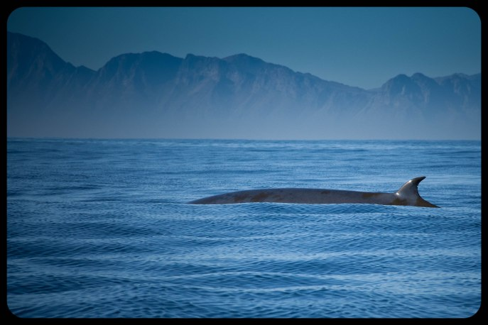 Brydes_whale
