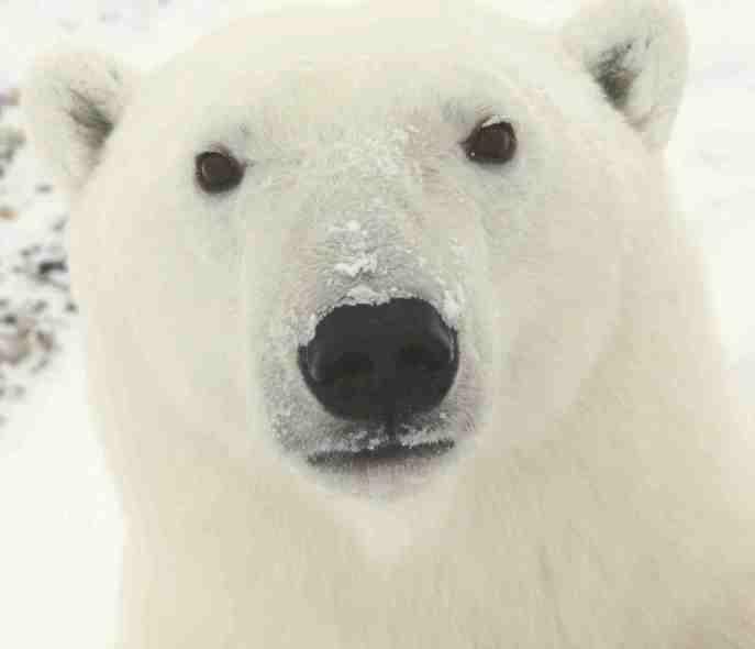 Polar_Bear_0319_-_23-11-06