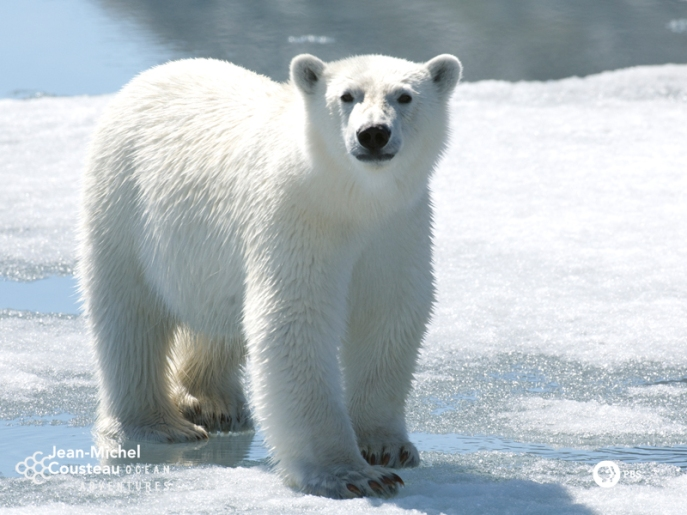 polarbear-800