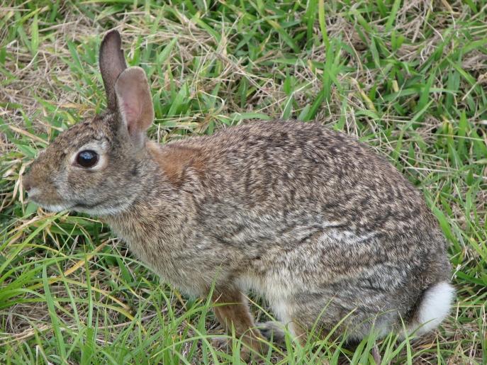 Wild_rabbit_us