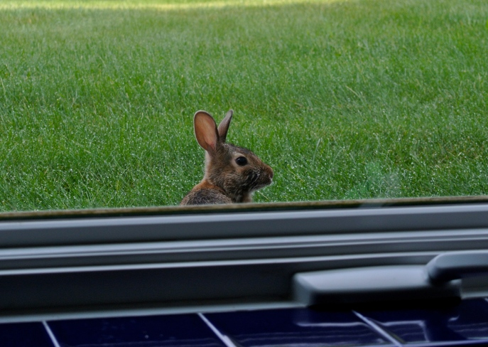 One of the bunnies checks to see if I am watching the petunias.